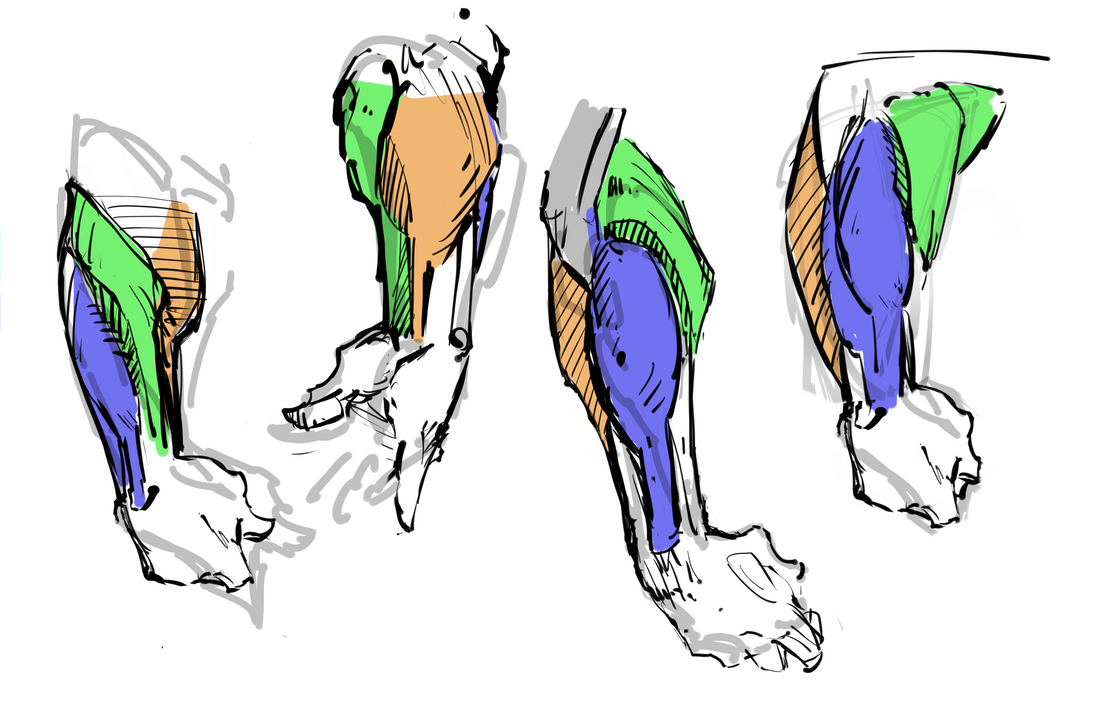 Forearm Muscle Basics By Rgcomicart On Deviantart