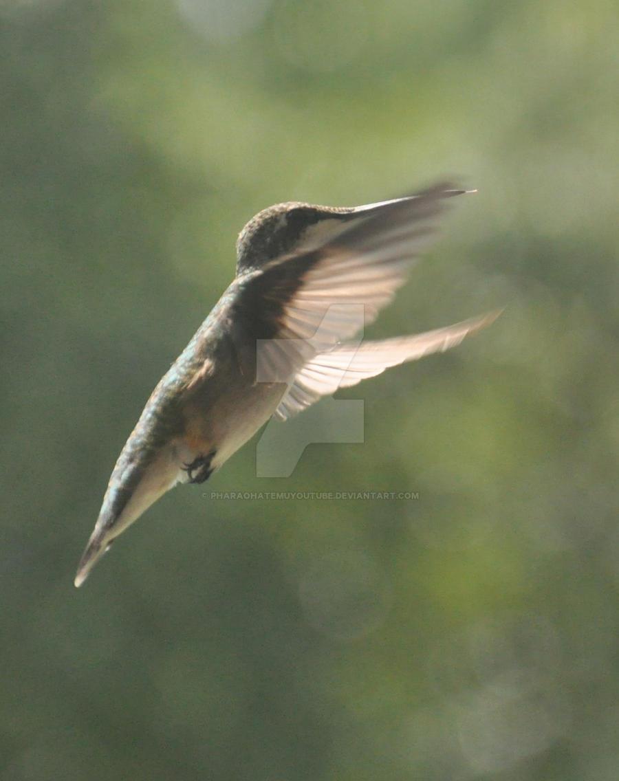 Hummingbird 4 by pharaohatemuYouTube