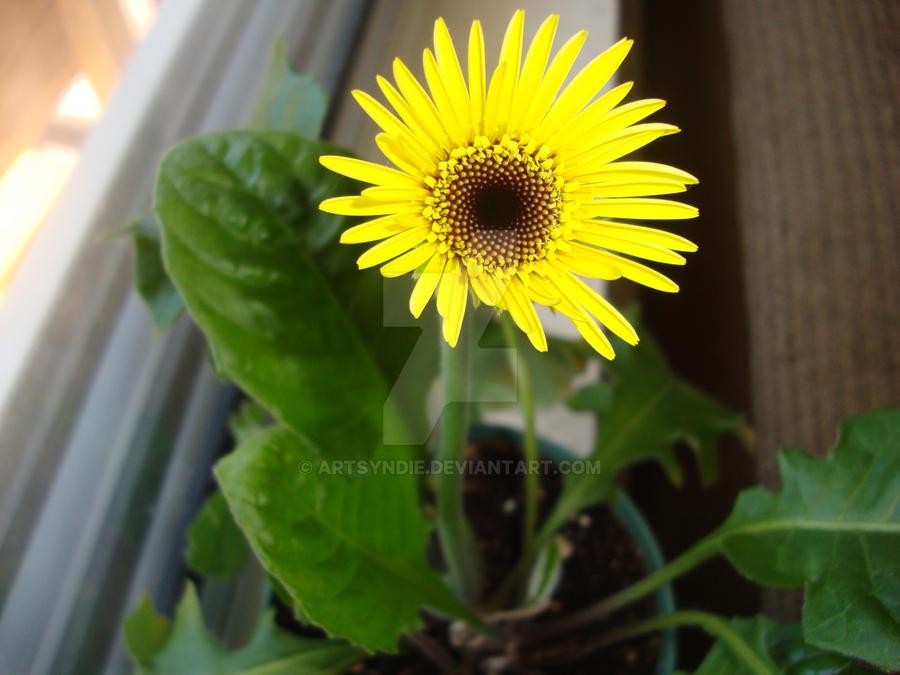 innocent bloom