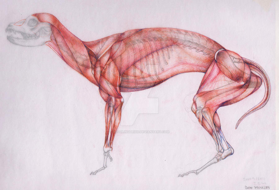 dog anatomy by doodlingdruid on deviantart