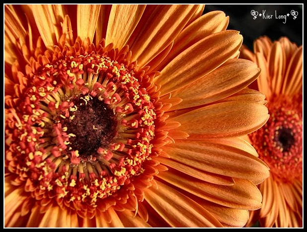 Gerber Daisy by irish-eyes2