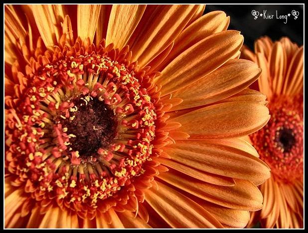 Gerber Daisy by irish-eyes2