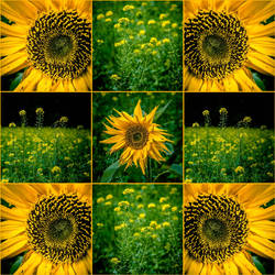 Sunflower and rapeseed - 2