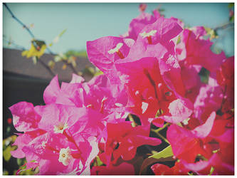 Pink Bougainvilleas by VINpixPhotography