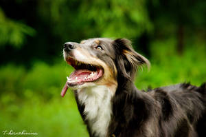 Shining  border collie by T-Solnechnaya