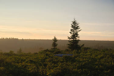 Spruce Trees at Dolly Sods Wilderness, WV