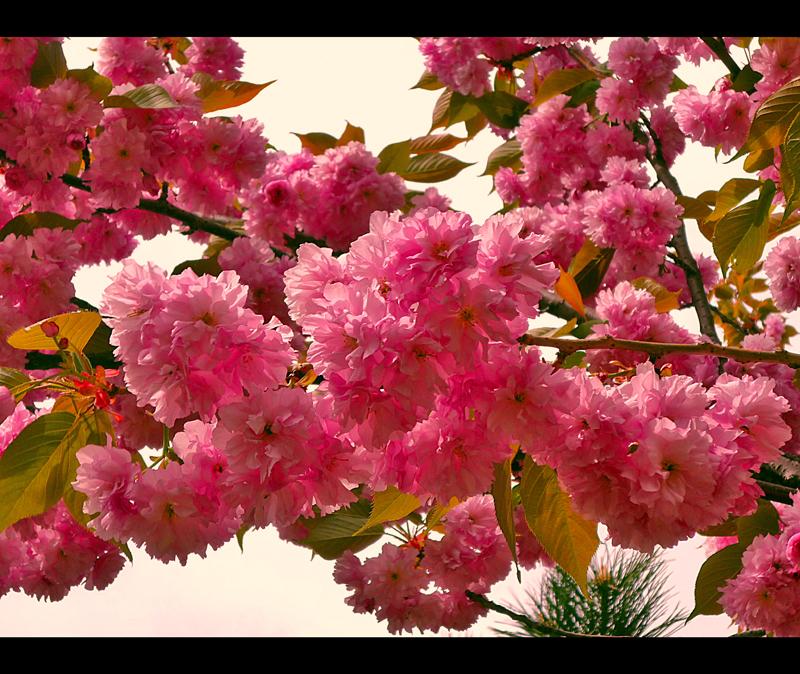 blossom... by Iulian-dA-gallery
