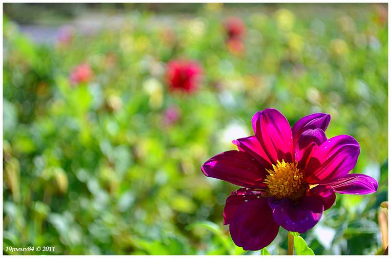 violet dahlia... by Iulian-dA-gallery
