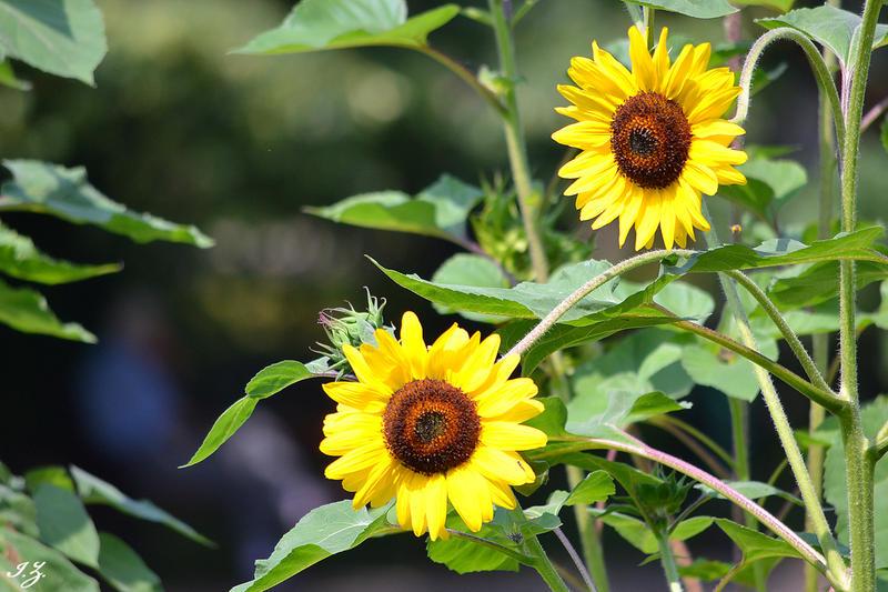 sunflower by Iulian-dA-gallery