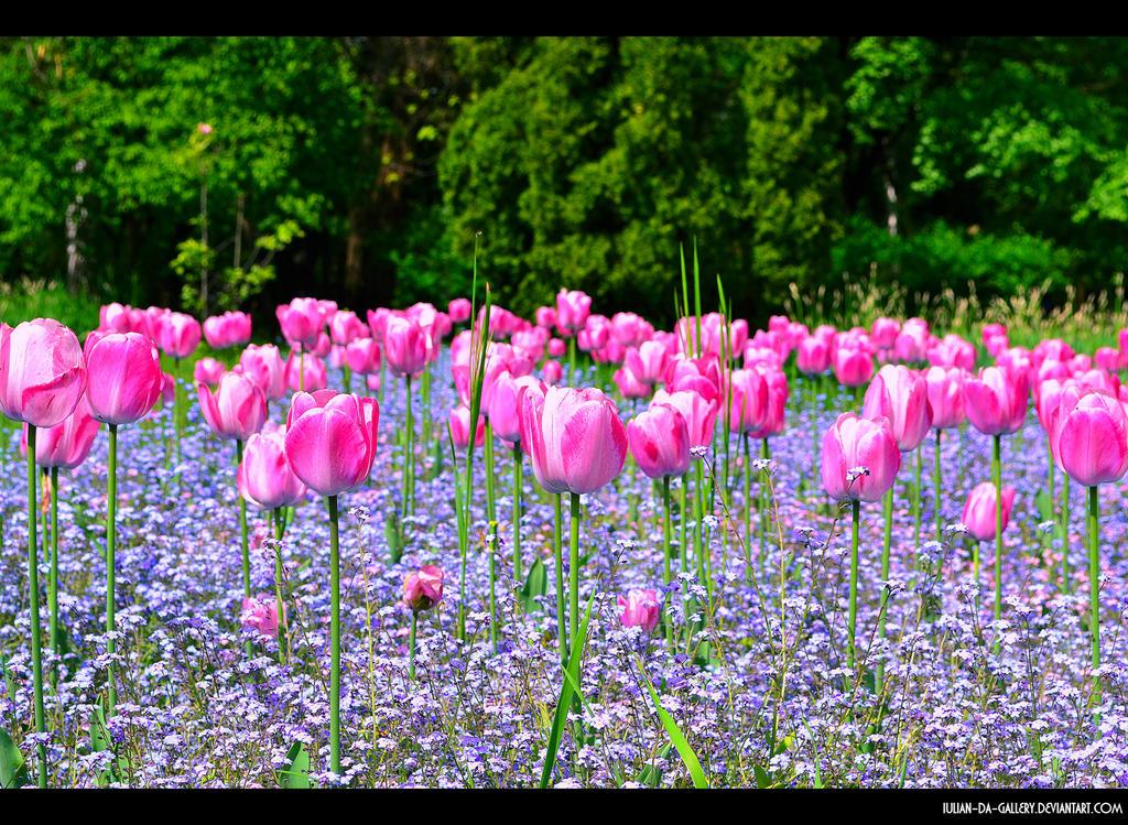 field of tulips... by Iulian-dA-gallery