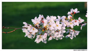 white blossom...