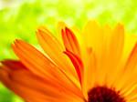 The Unfurling of Petals by ElindielForestStar