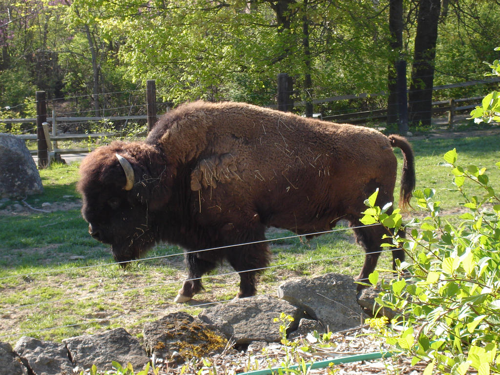 American Bison 4 Columbus Zoo By Wdwparksgal Stock On