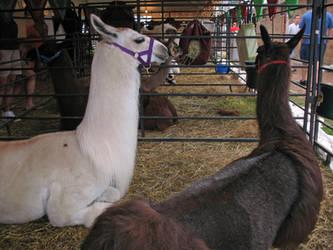 Llamas by WDWParksGal-Stock