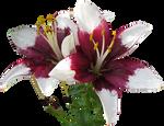 Asiatic Lilies clear-cut
