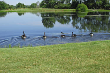 Summer Means Geese on the Lake