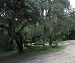 AK Zebras Under Weeping Willows IMG 1551