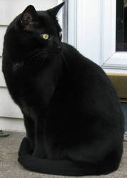 Black Cat Stock 2 by WDWParksGal-Stock