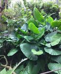 A Bush of Lush Leaves IMG 5166