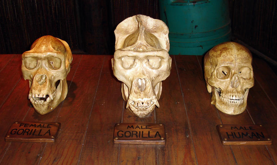 Skulls4 Human and Gorillas by WDWParksGal-Stock