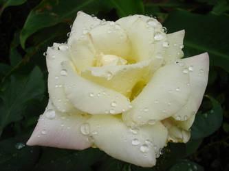 Rose 'Garden Party' by duggiehoo