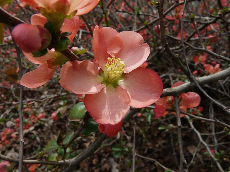 Flowering Quince by duggiehoo