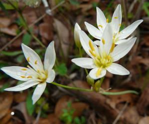 Zephyranthes atamasca by duggiehoo