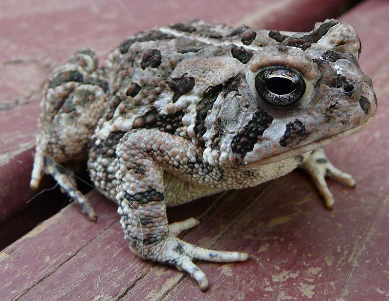 Toad.,,. by duggiehoo