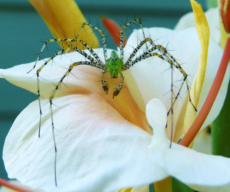 Mr. Green Lynx on Hedychium by duggiehoo