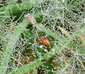 Florinda coccinea..dewy web by duggiehoo