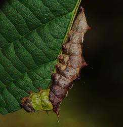 Schizura ipomoeae larvae by duggiehoo