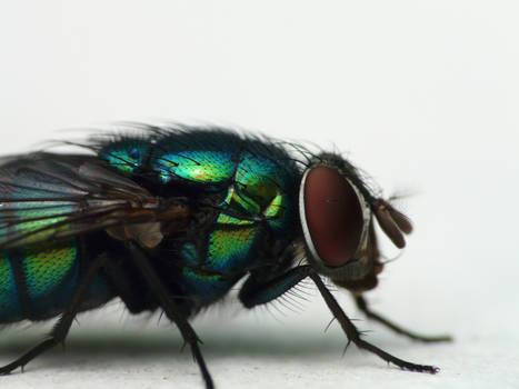 Mosca azul y verde