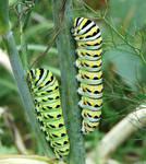 Last...Black Swallowtail
