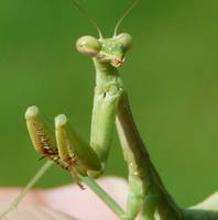 Another Young Mantis., by duggiehoo