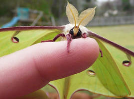 Luna moth on my finger by duggiehoo