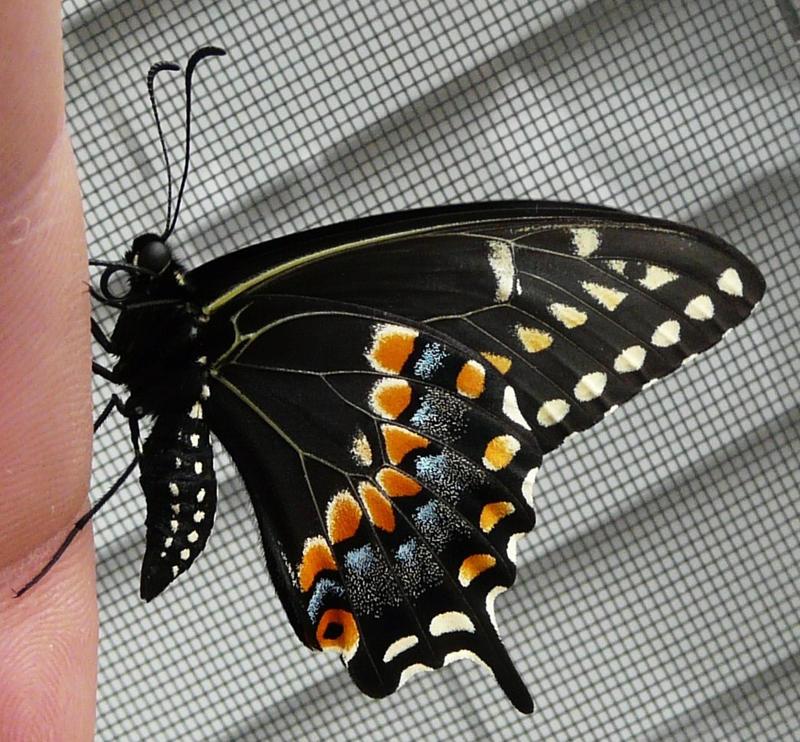 ,,.Black Swallowtail.., by duggiehoo