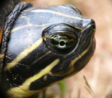 Eye of Turtle by duggiehoo