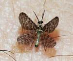 Nallachius americanus by duggiehoo