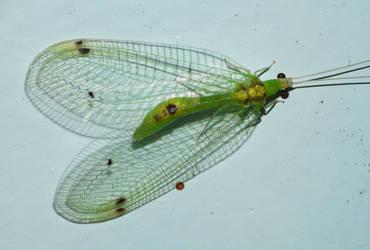 Leucochrysa insularis