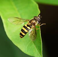 ...Syrphidae... by duggiehoo