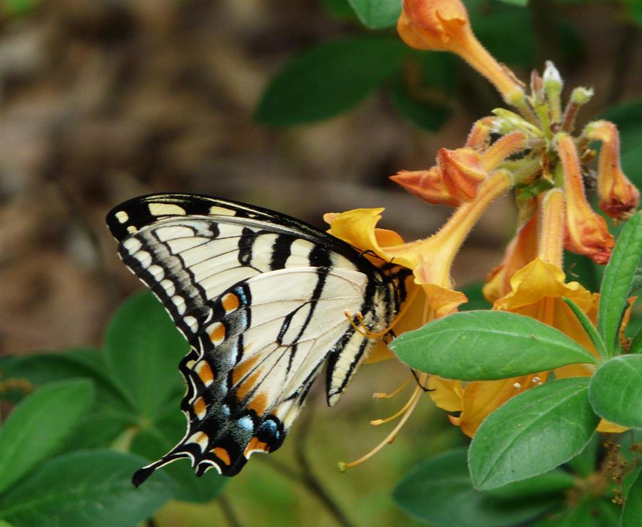 E.,.Tiger.,Swallowtail by duggiehoo