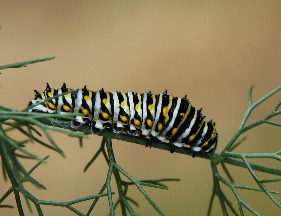 ..Black Swallowtail... by duggiehoo