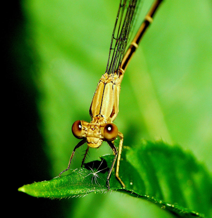 ....Damselfly.., by duggiehoo