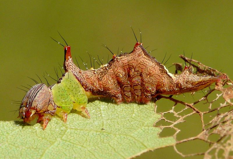 Schizura ipomoeae..,larvae by duggiehoo