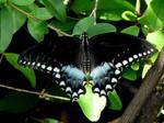 .Spicebush Swallowtail.,