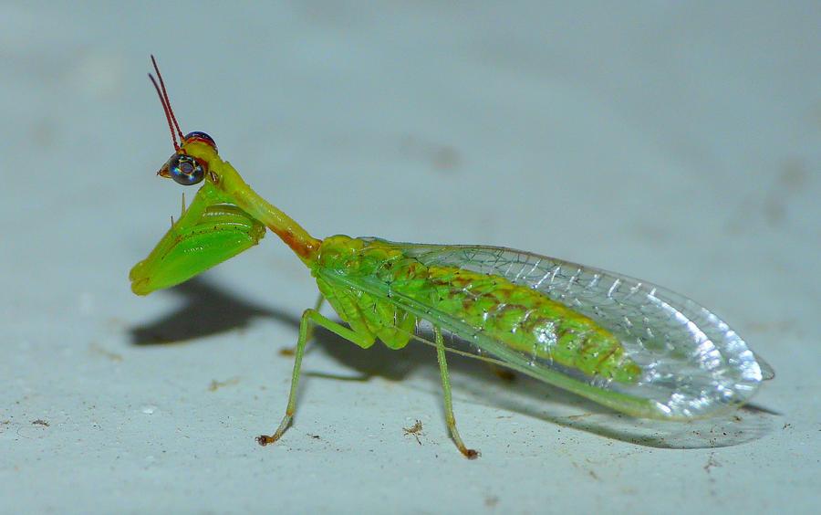 Mantidfly, full body by duggiehoo