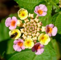 Lantana with Halictidae by duggiehoo
