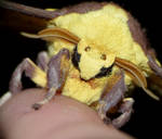 Imperial Moth - Eacles imperialis...Face