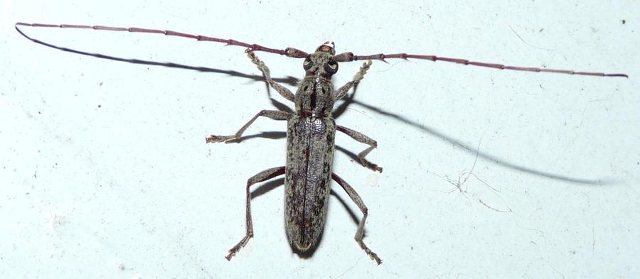 Cerambycidae....Longhorned Beetle by duggiehoo