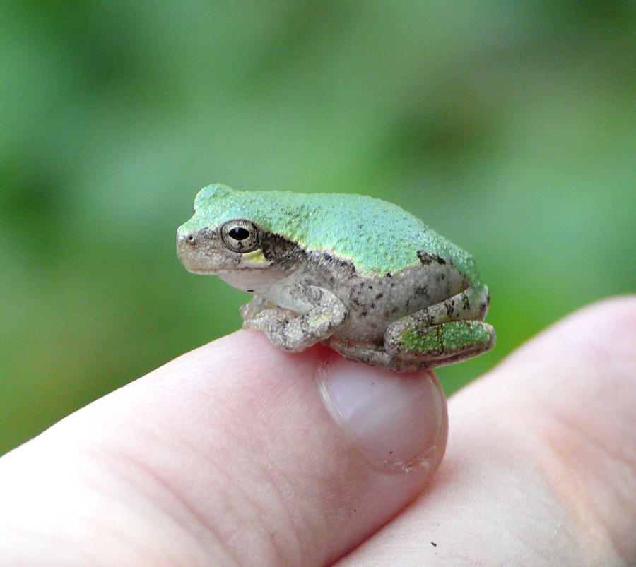 Tree Frog on my pinky by duggiehoo